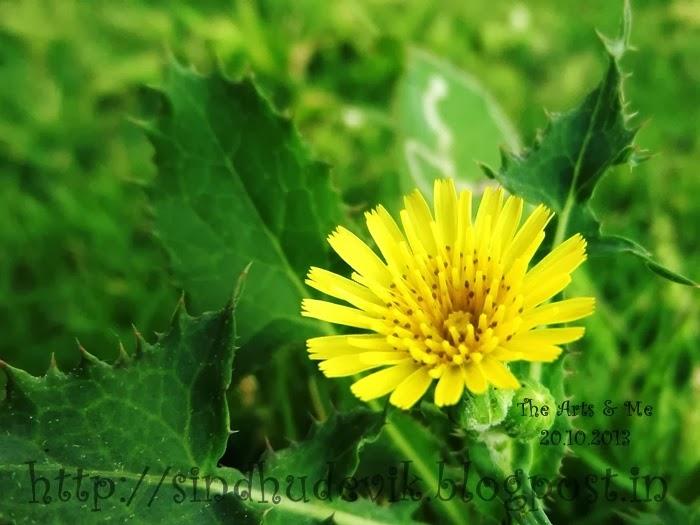 False Dandelion or Hawk's Beard Flower With Dark Spots