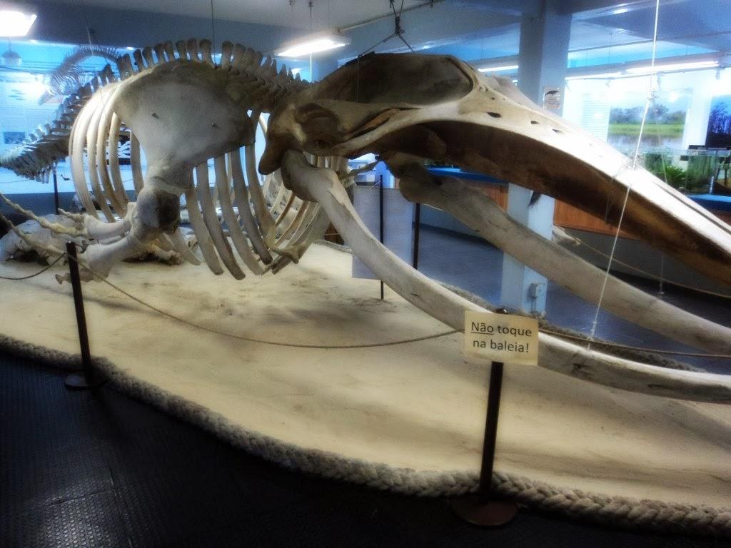 Esqueleto de Baleia, no Museu do CECLIMAR, em Imbé