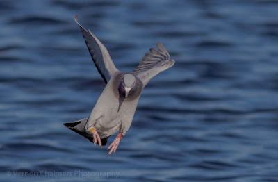 Image 5: Rock Pigeon in Flight over the Diep River, Woodbridge Island