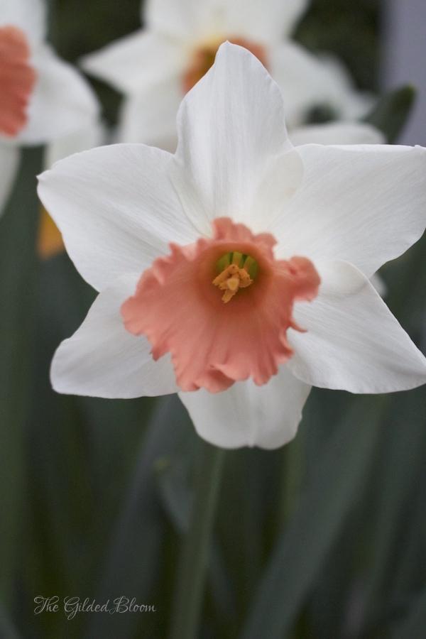 Pink Charm Daffodils- www.gildedbloom.com