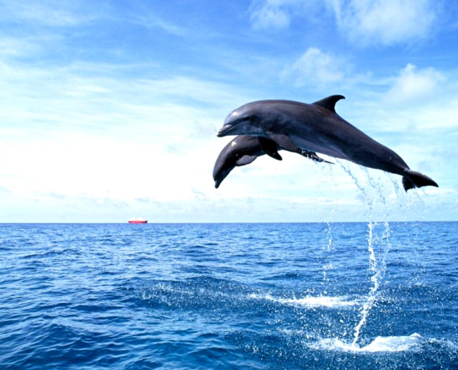 Dolphin Jumping Out of Water Wallpapers – Reedmirchi