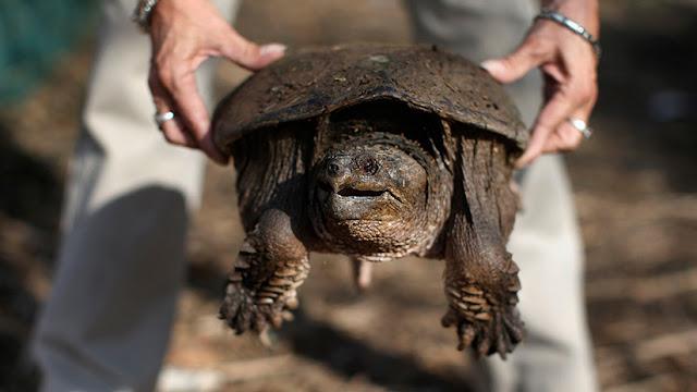 Levantan cargos sobre el profesor que alimentó con un cachorro a una tortuga mordedora en EE.UU.