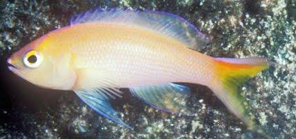 Peixes da Família Pseudanthias Foram Descobertos no Oceano Índico