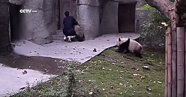 The other Panda noticed the zoo staff.