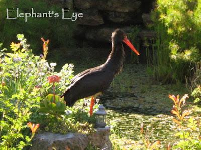 Black stork 2009