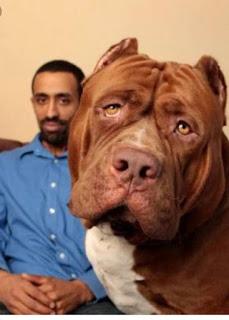 Dünyanın en büyük Pitbull köpeği Hulk