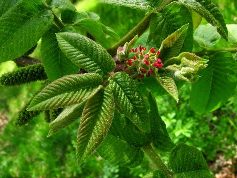juglans-ailantifolia-le-mkesl