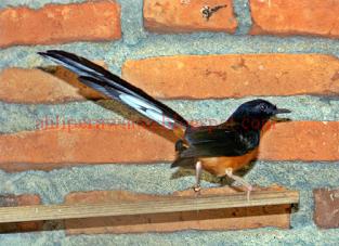 Ciri Ciri Murai Batu Aceh, Ciri Fisik Murai Batu Aceh Suara Gacor, Tentang Burung Murai Batu Aceh