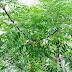 Drzewo mydlane w Chinach