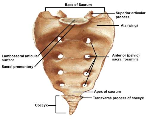 ABC Radiology Blog: sacrum and coccyx
