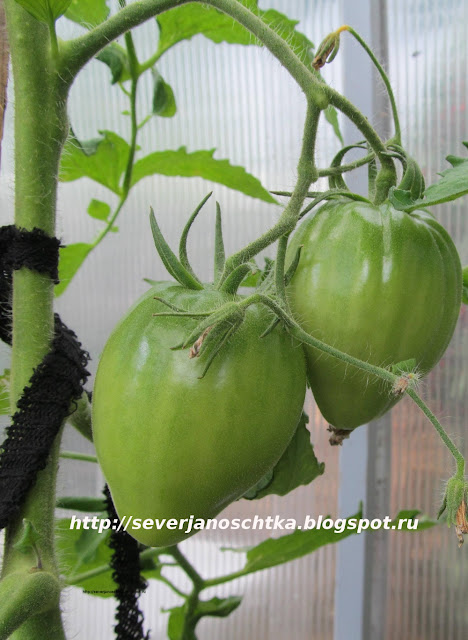 крупные помидоры Мазарини