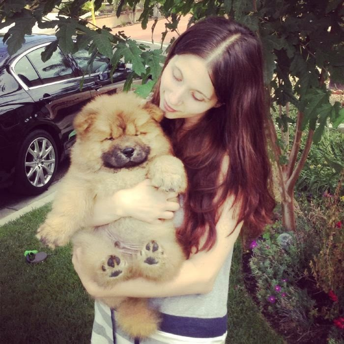Chow Chow puppy - what a cutie