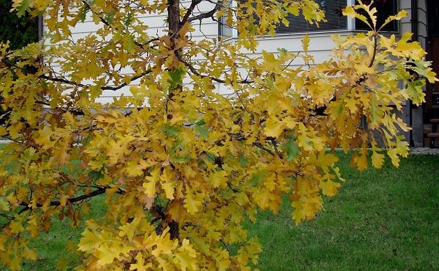 ROBLE DE BELLOTAS GRANDES Quercus_macrocarpa