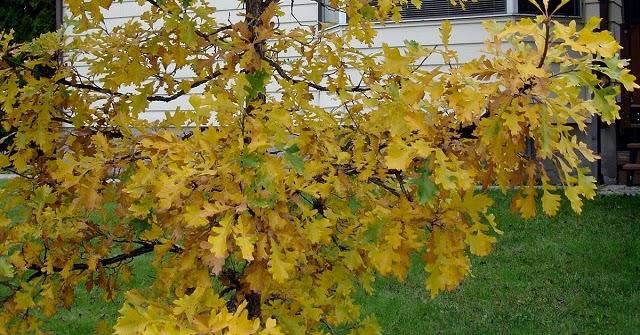 Quercus%2bmacrocarpa%2b5166689307_9b05d3259b_o%2b-%2bcopia