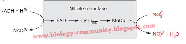 laporan praktikum enzim nitrat reduktase, laporan biokimia enzim nitrat reduktase, landasan teori enzim nitrat reduktase, pengujian aktivitas enzim nitrat reduktase, ph optimum enzim nitrat reduktase laporan praktikum biokimia enzim nitrat reduktase, enzim nitrat reduktase pdf