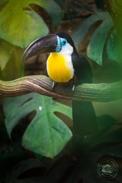 Toucan yolk Beauval Zoo © Clement Racineux / Tonton Photo