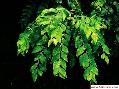 Curry leaf - करी लीफ करी पत्ता