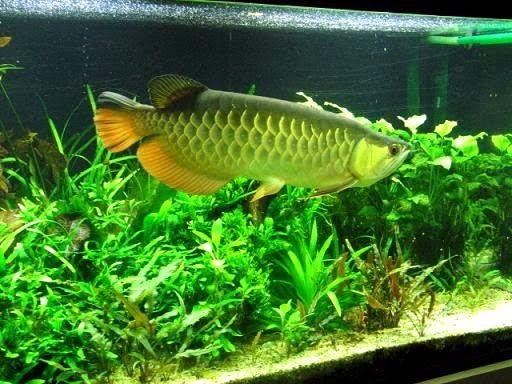 Jenis Ikan ARWANA HIJAU