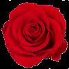 flowercube_rosa_rossa_bocciolo