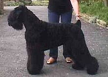 Black Russian Terrier-pets-dogs-dog breeds