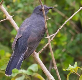 Image of Cacomantis passerinus