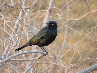 male brewer's blackbird