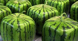 Semangka berbentuk kubus