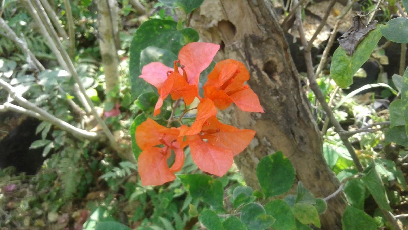Foto Bunga Bougenville Atau Bunga Kertas Lima Warna