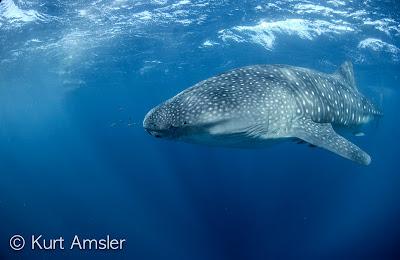 Walhai © Kurt Amsler