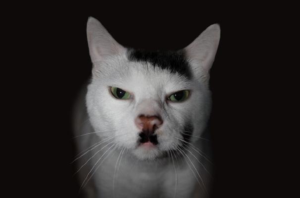 Kitler,Snowball The Cat That Looks Like Hitler