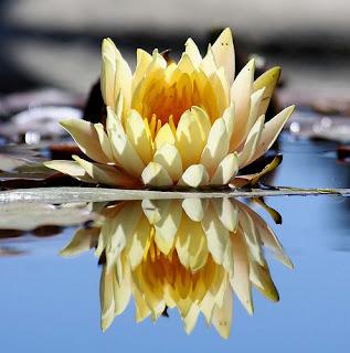 Gambar Bunga Teratai Terindah di Dunia 3