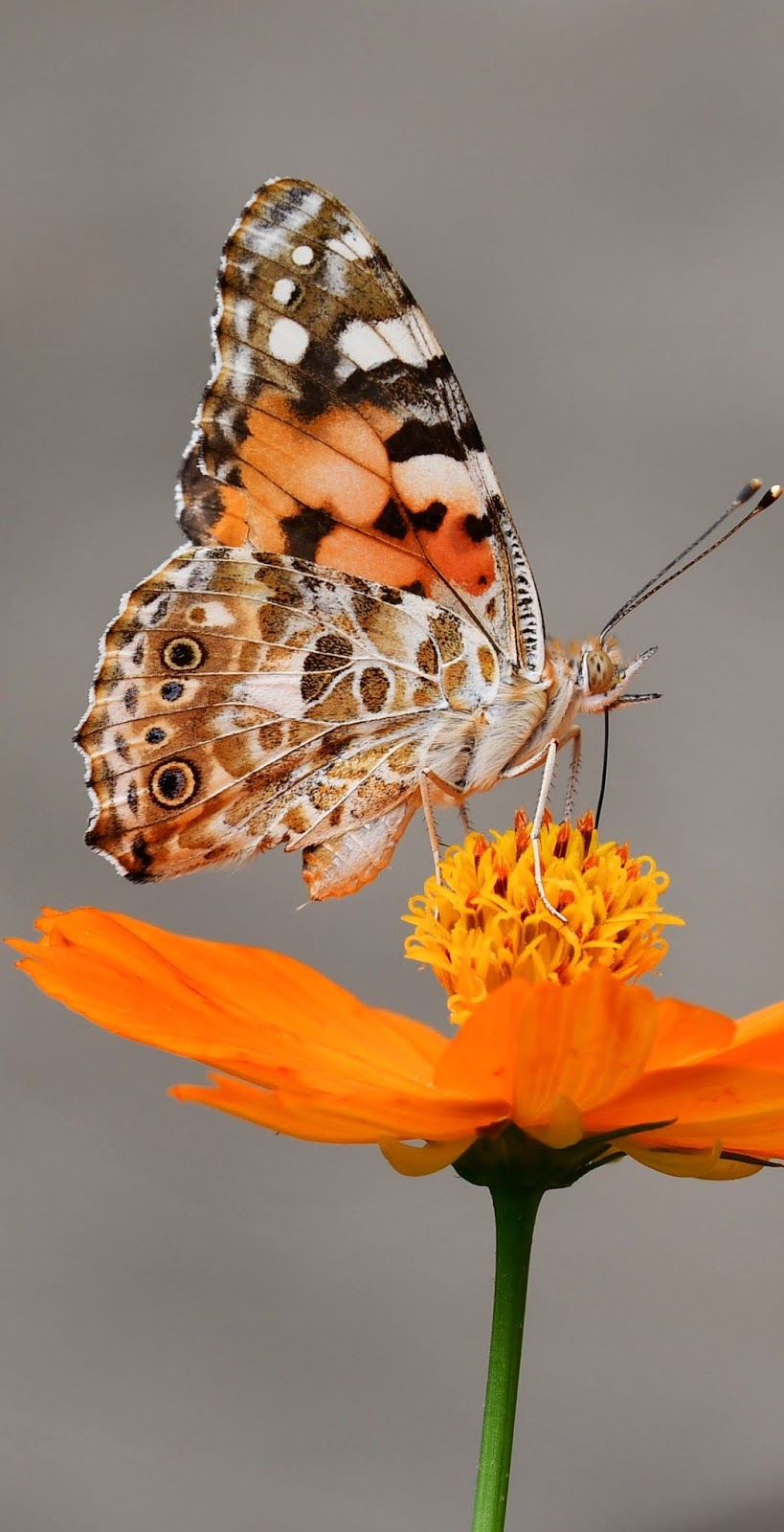 A butterfly on an orange flower.