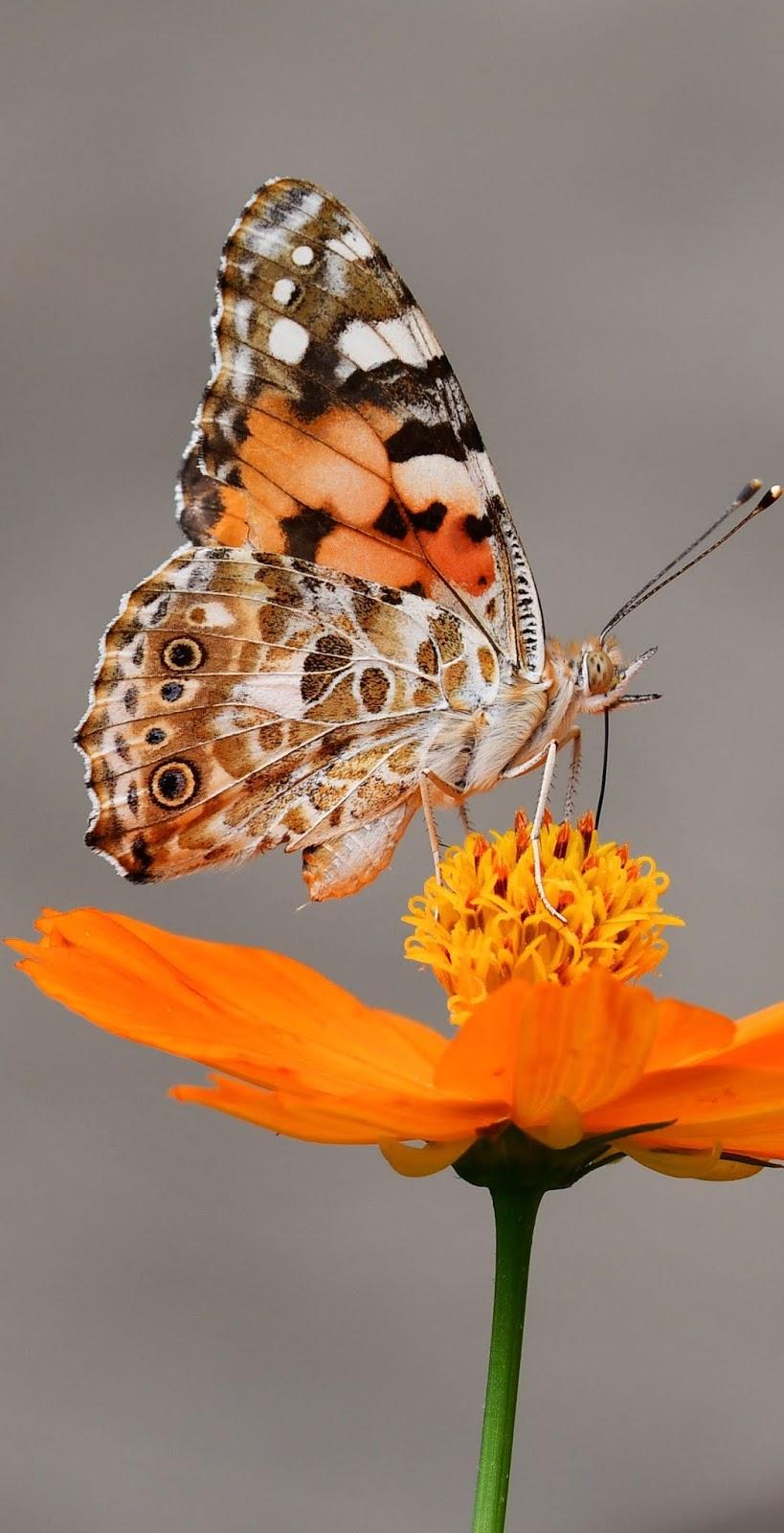 A butterfly on an orange flower.