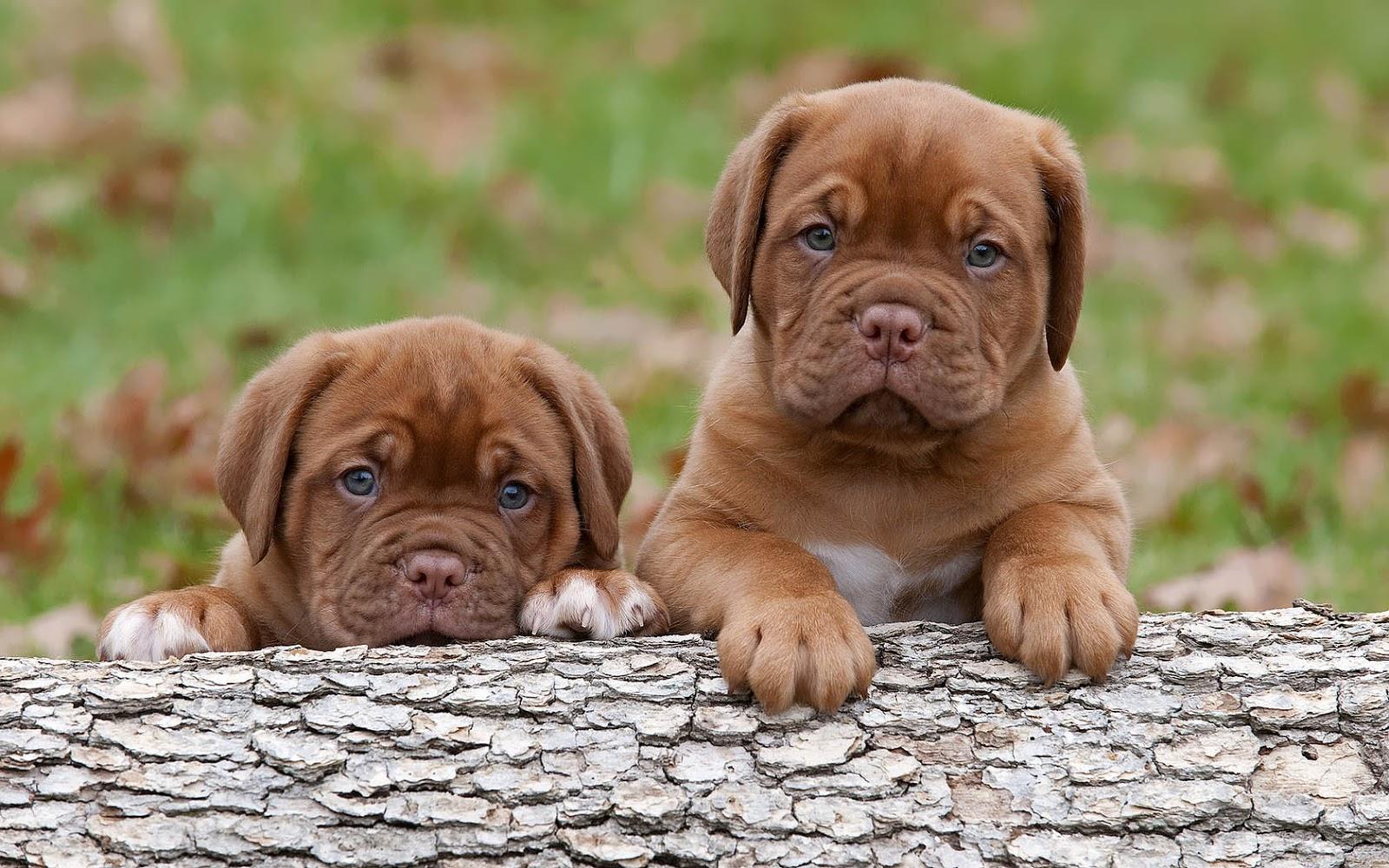 Twee bruine honden puppy's bij een boomstam
