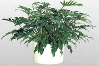 Philodendron%2Bspp - Tumbuhan yang wajib ada didalam setiap rumah!