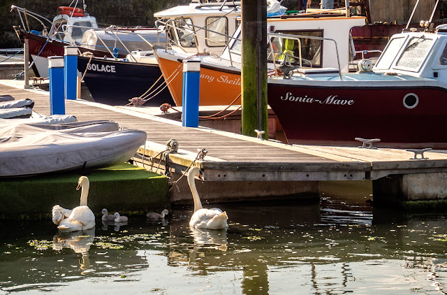 Photo of a family of swans looking for food in Maryport Marina