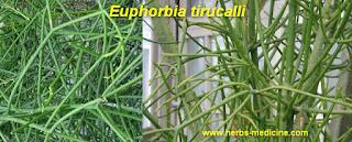 Fracture use Euphorbia tirucalli