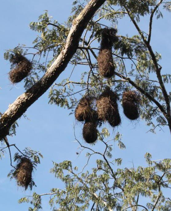 A cacique colony of nests.