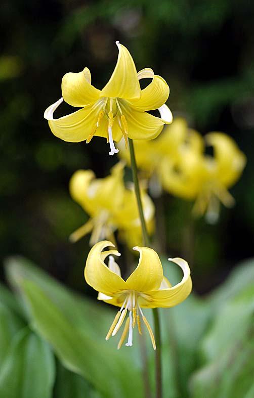 A Digital Botanic Garden Erythronium Pagoda Liliaceae