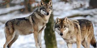 Hewan Paling Setia Di Dunia Pada Pasangannya