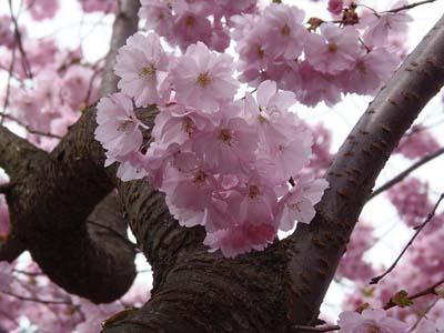 Unduh Kumpulan Koleksi Gambar Bunga Sakura Berjatuhan Paling Cantik HD