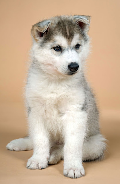 Puppies from pet stores are more likely to have behavior problems, especially aggression; illustrated by a cute Siberian Husky puppy