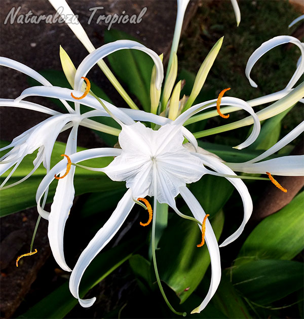 Flor de una especie del género Hymenocallis
