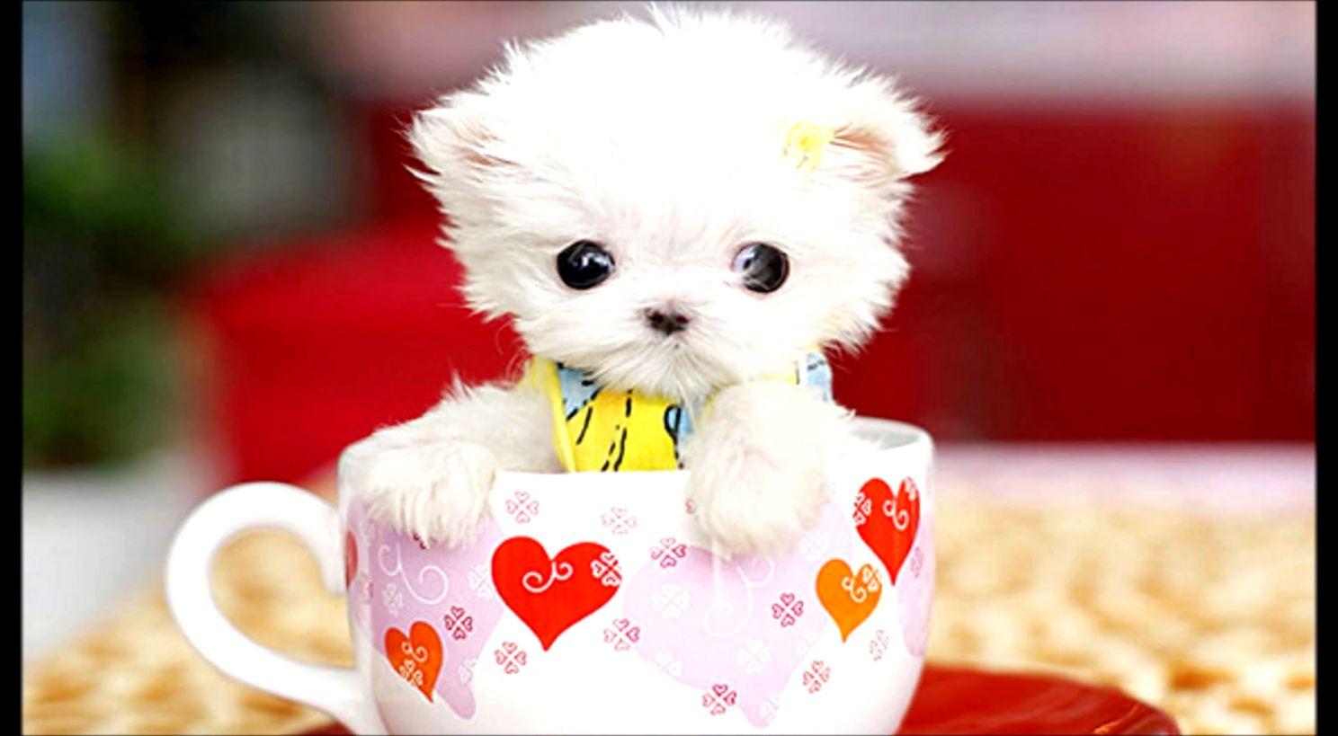 Teacup Puppy Wallpaper Desktop Wallpapers Land