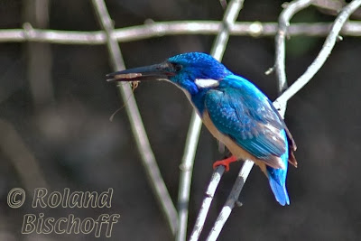 Martín pescador cobalto Alcedo semitorquata