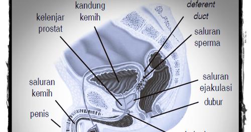Sistem Reproduksi Manusia Laki Laki Perempuan