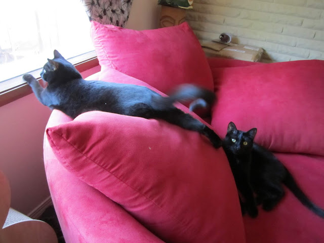 Black-cats-kitt-crusasers- Fizzy-Party
