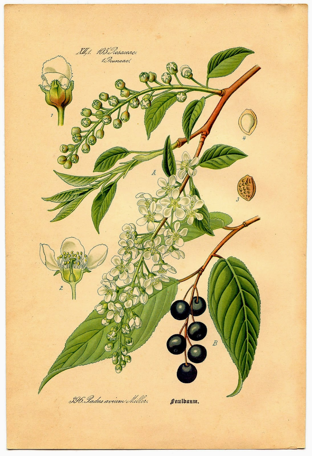 Sketch of bird cherry