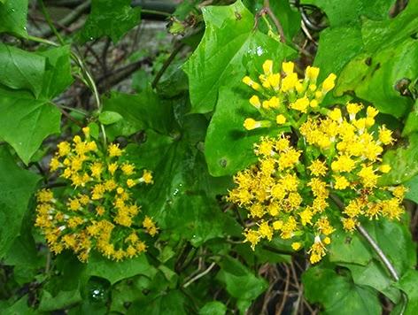 Senecio trepador (Senecio mikanioides)flor amarilla