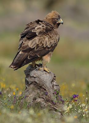 Águila calzada (Hieraaetus pennatus)